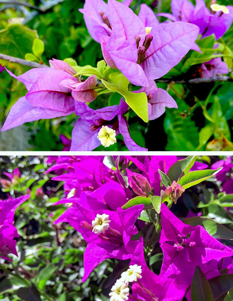 Bougainvillea is a sun-loving shrub, good for planting as a hedge.