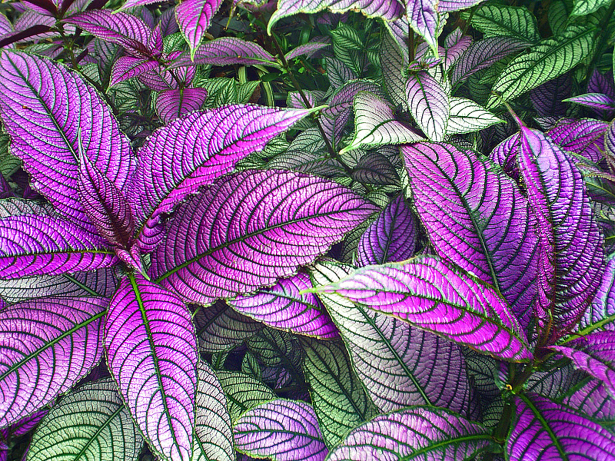 As a houseplant, Persian Shield (Strobilanthes dyerianus) prefers bright, filtered sunlight to keep its foliage color.