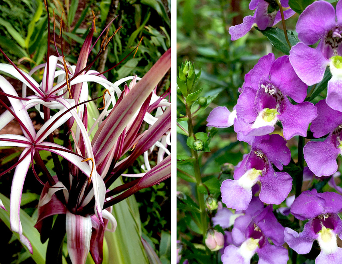 Left: Giant Spider Lily (Crinum sp.) with their  extremely fragrant reddish purple blooms. Right: Angelonia (Angelonia sp.) flower looks like orchid and smells like jasmine.