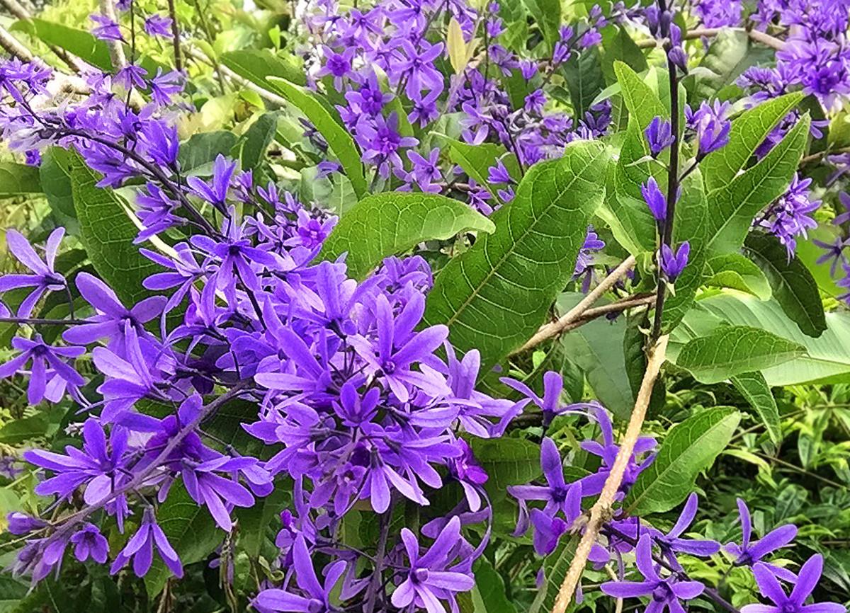 Sandpaper Vine (Petrea volubilis) is native to tropical Americas. It's also called Purple Queen's Wreath Vine.