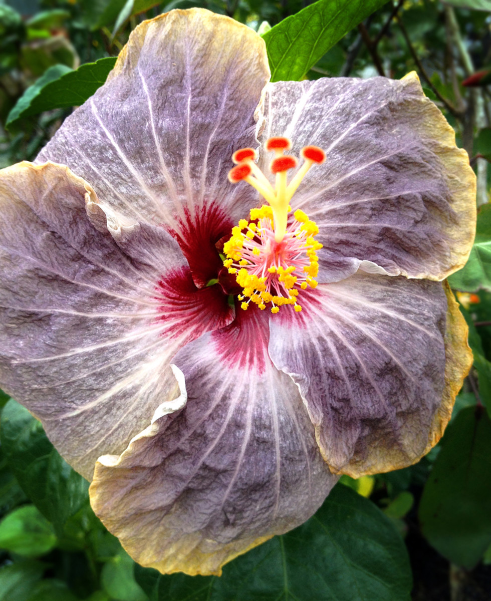 Hibiscus 'Voodoo Doll' has pale violet petals with yellow fringe and burgundy center.