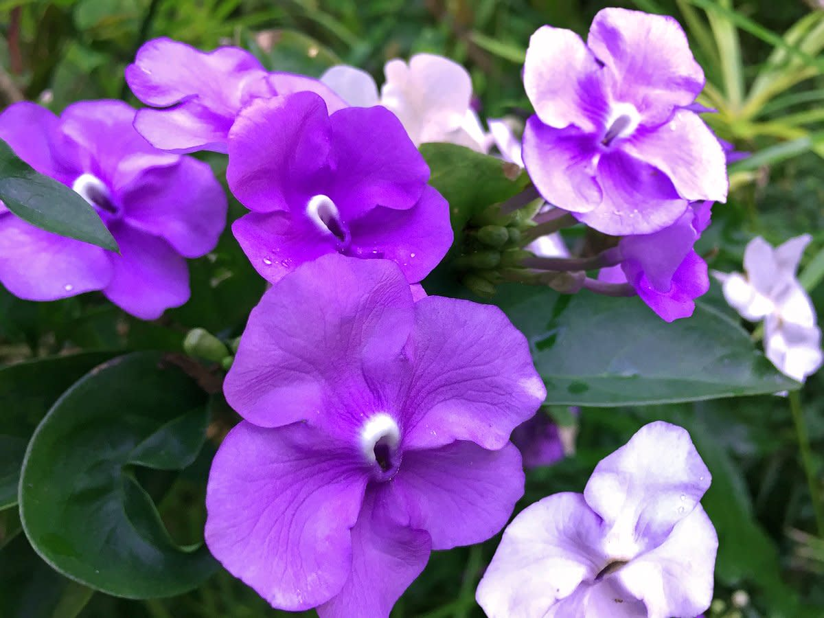 Yesterday-Today-Tomorrow (Brunfelsia sp.) flowers in various purple color phases.