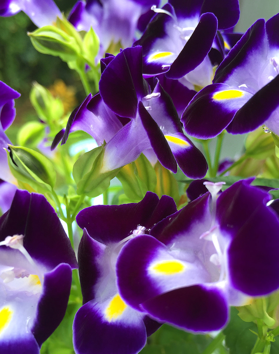Wishbone Flower (Torenia sp.) 'Ola'a Beauty' is a perfect choice for planting beds or borders.
