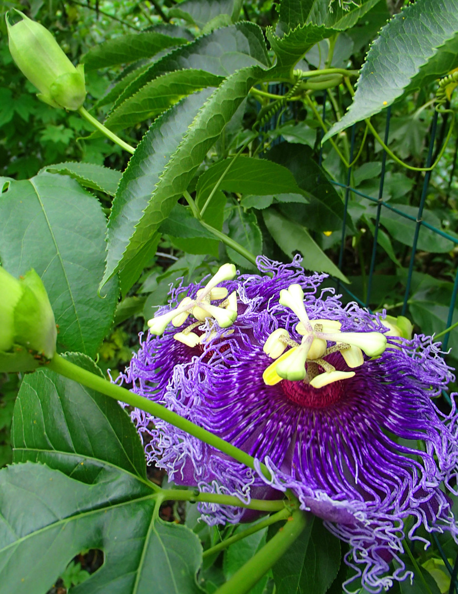 Purple passionflower vine (Passiflora sp.) is a fast grower that can cover an entire trellis in a very short time! The alien-looking flower emits a strong, exotic perfume to attract pollinators.