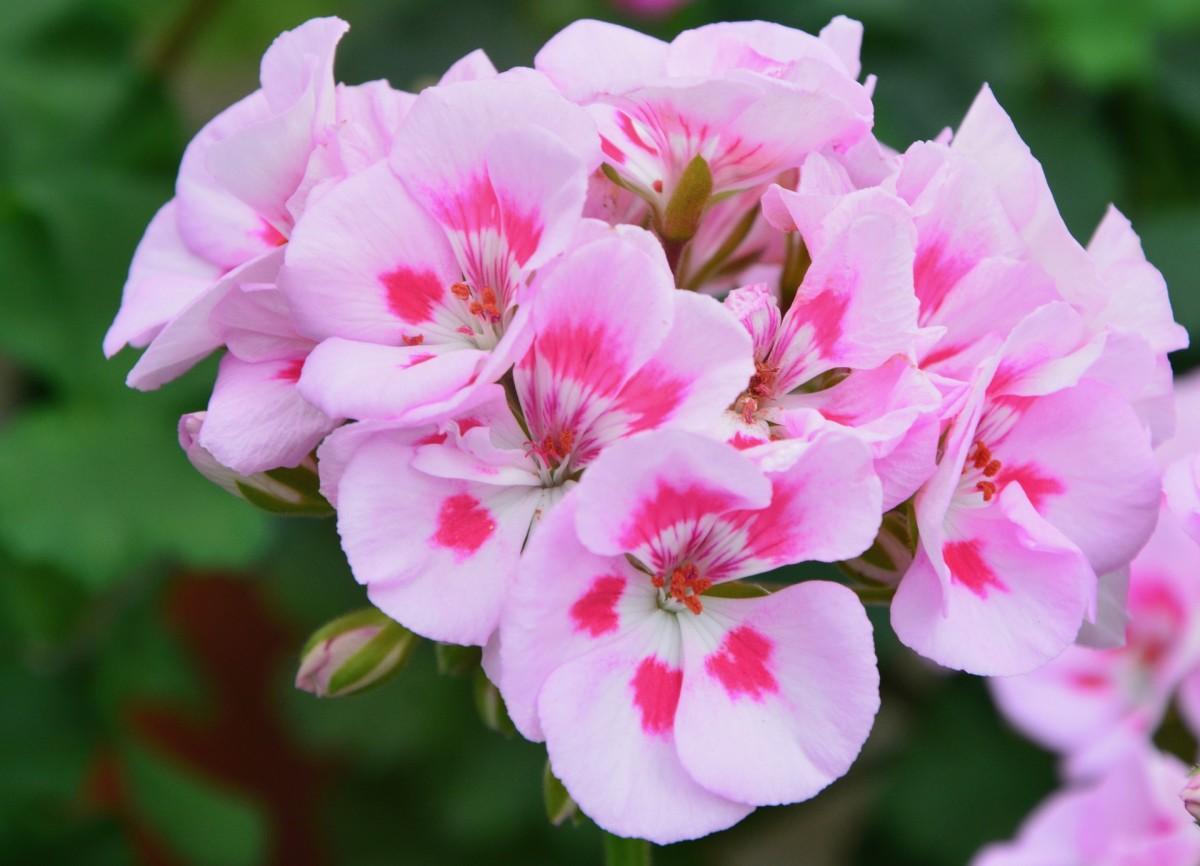 Pink geranium.