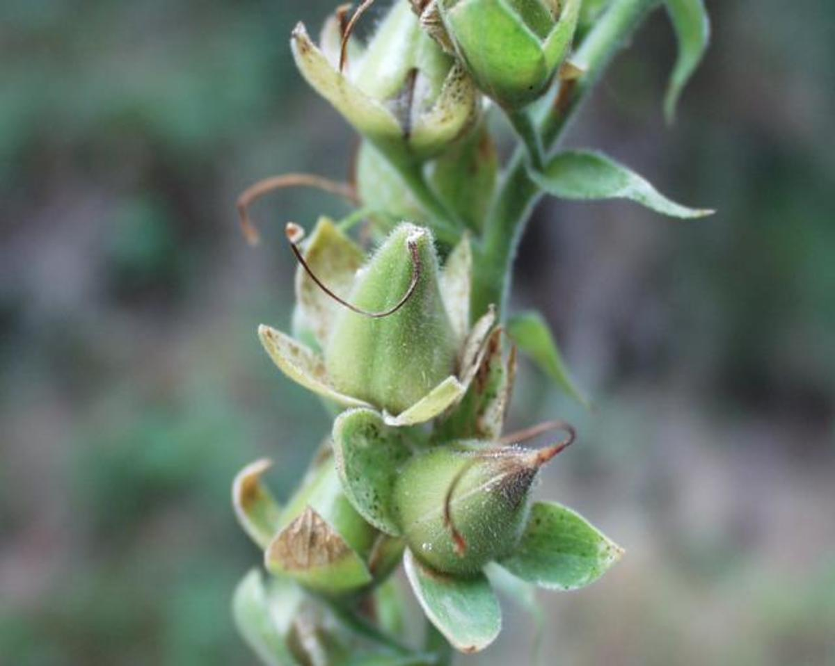 After they flower, foxglove develop seedpods.  When the seed is ripe, the pods turn brown and open releasing the seed.