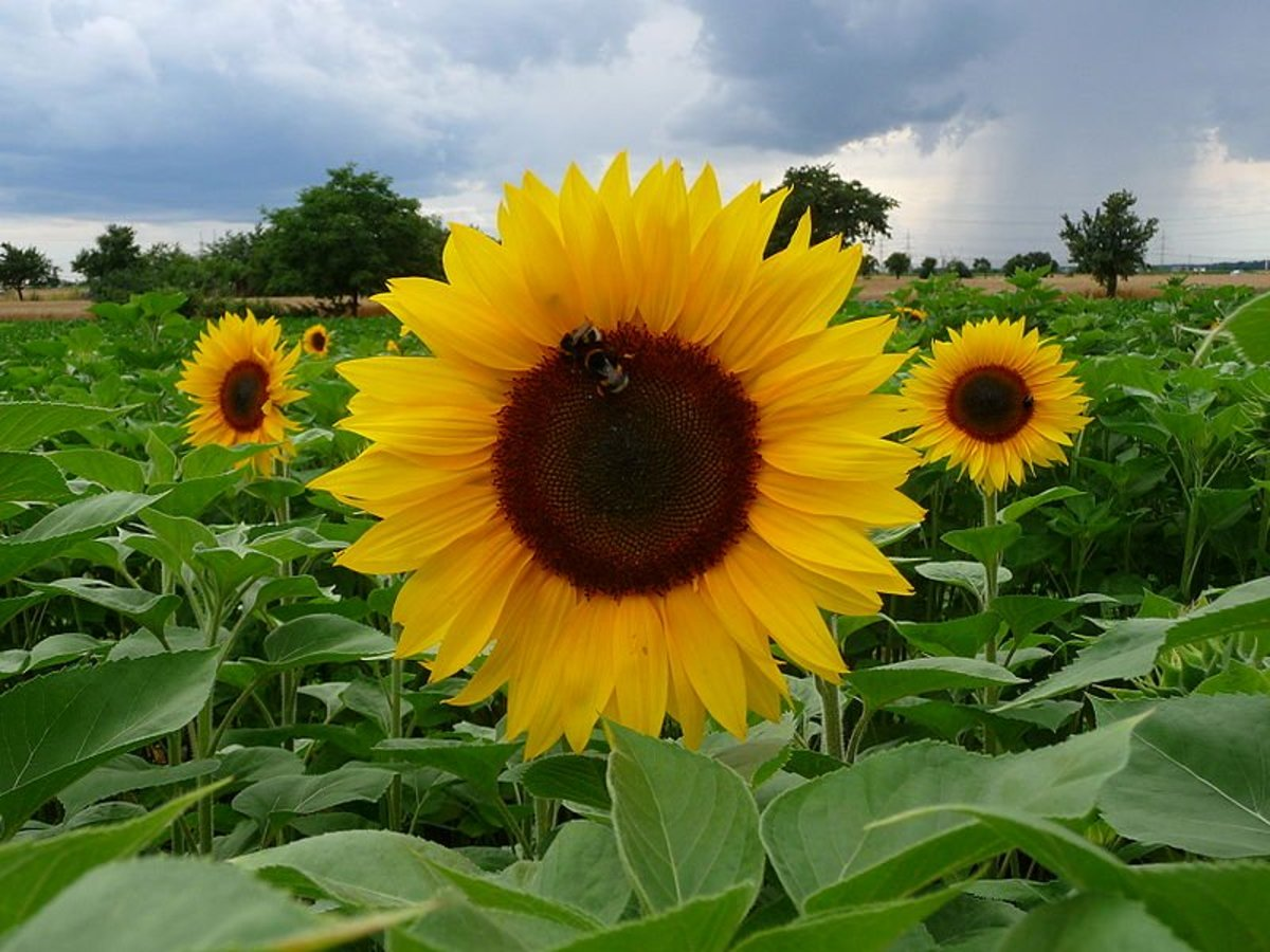 Easy-to-Grow Garden Plants: Sunflowers, Big Flowers With Large Seeds
