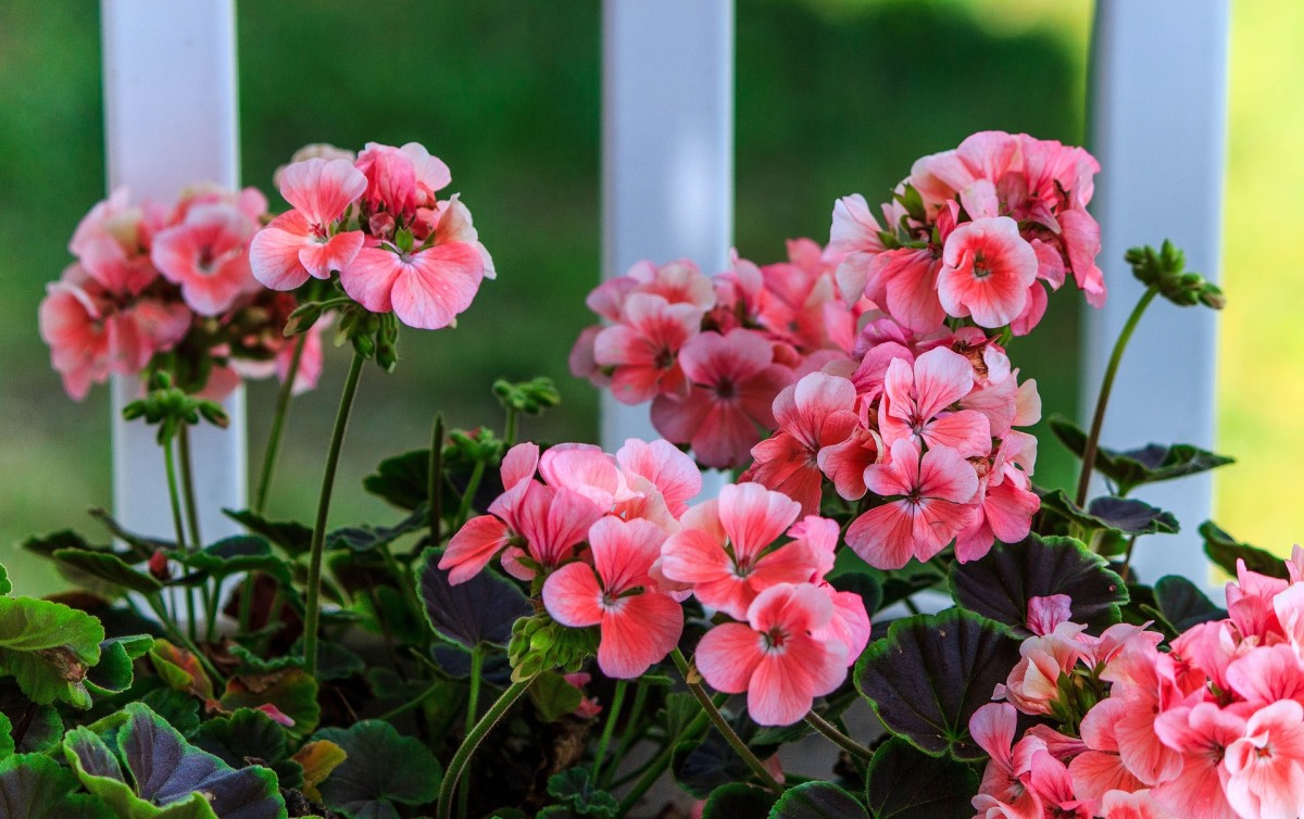 Geraniums make great potted plants as well as a great addition to your garden.