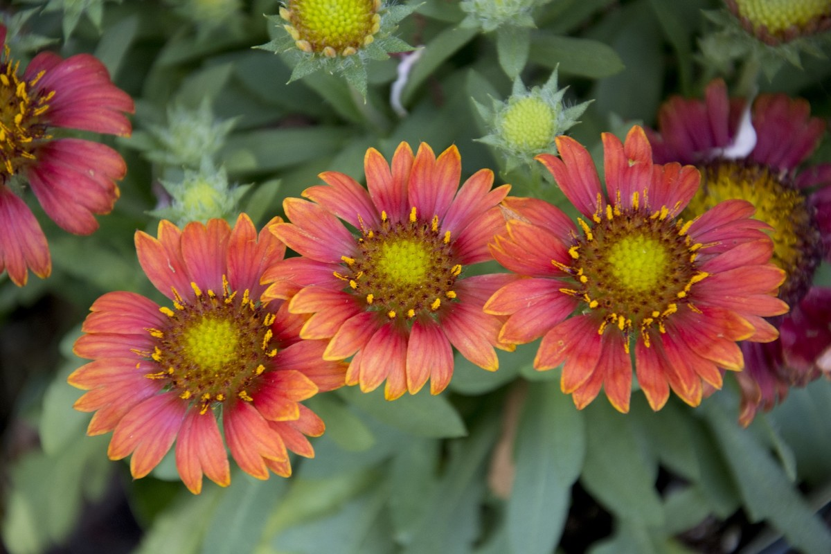 Blanket flowers bring a colorful splash to your garden.