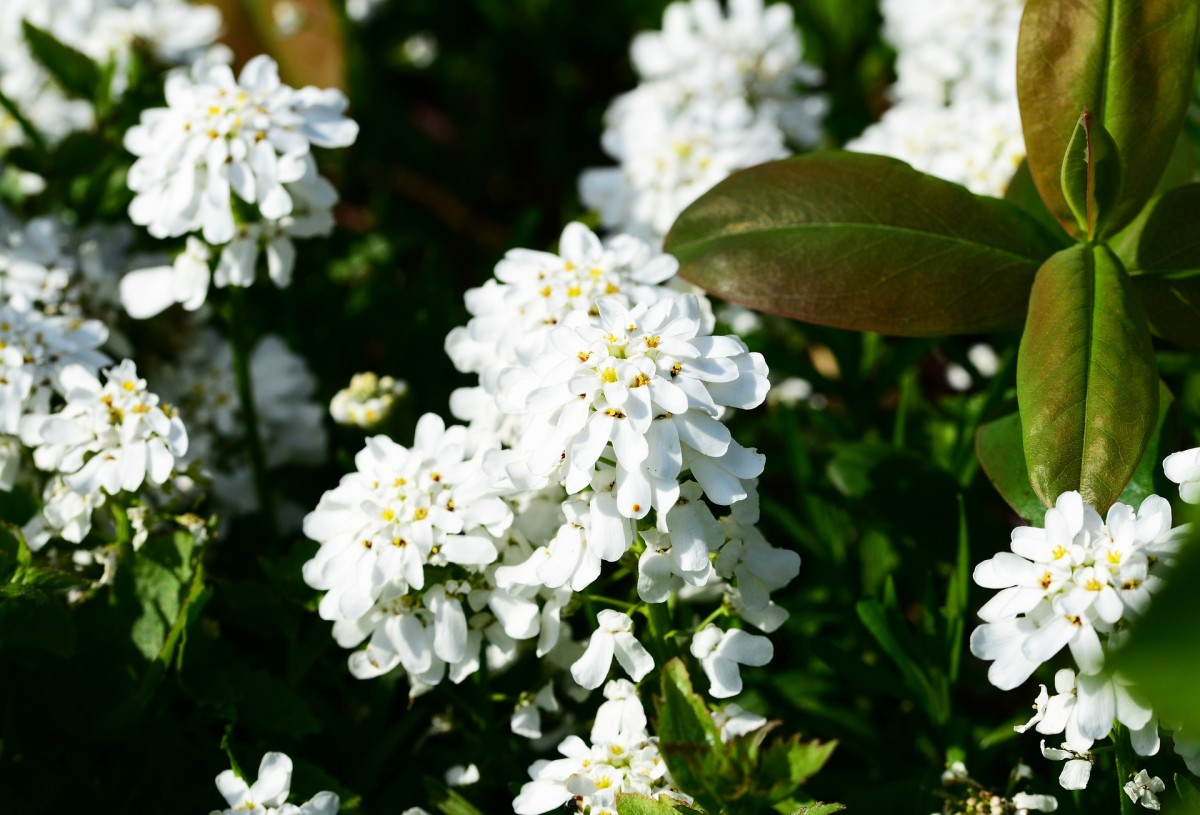 Use candytuft as a ground cover in your garden.