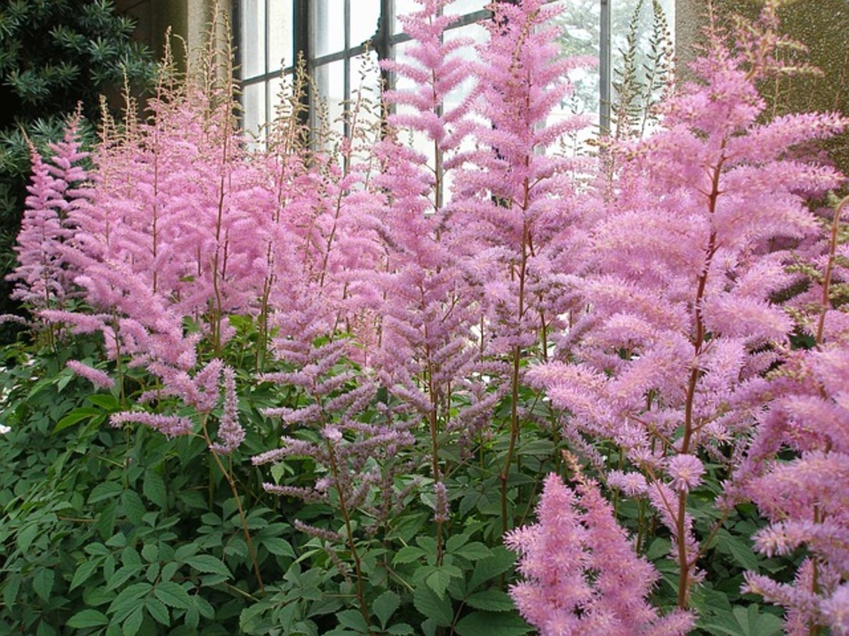 Best Ornamental Flowering Plants That Grow in the Shade