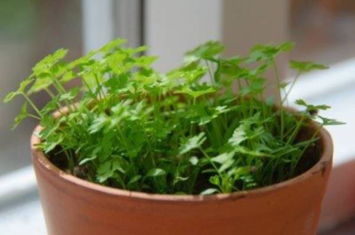 Parsley is a fairly easy herb to grow.