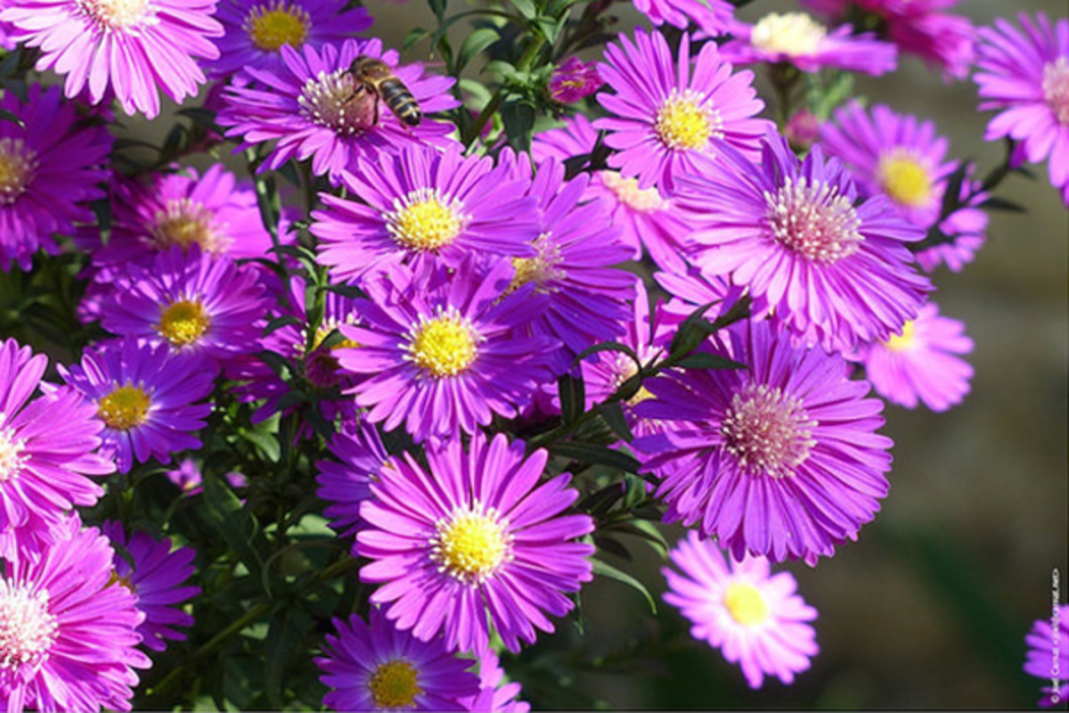 Asters come in a variety of colors for use in floral arrangements.