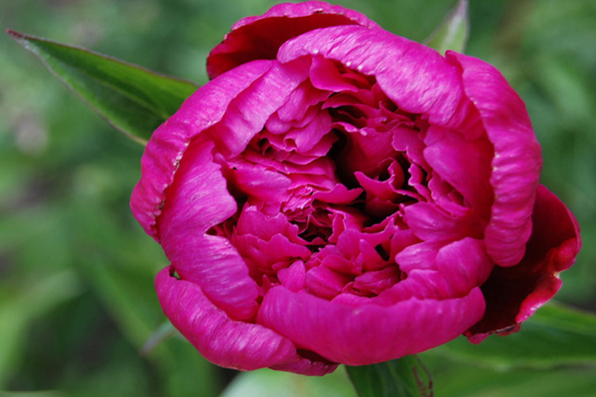 Peonies are flamboyant blooms that give a bouquet a lush appearance.