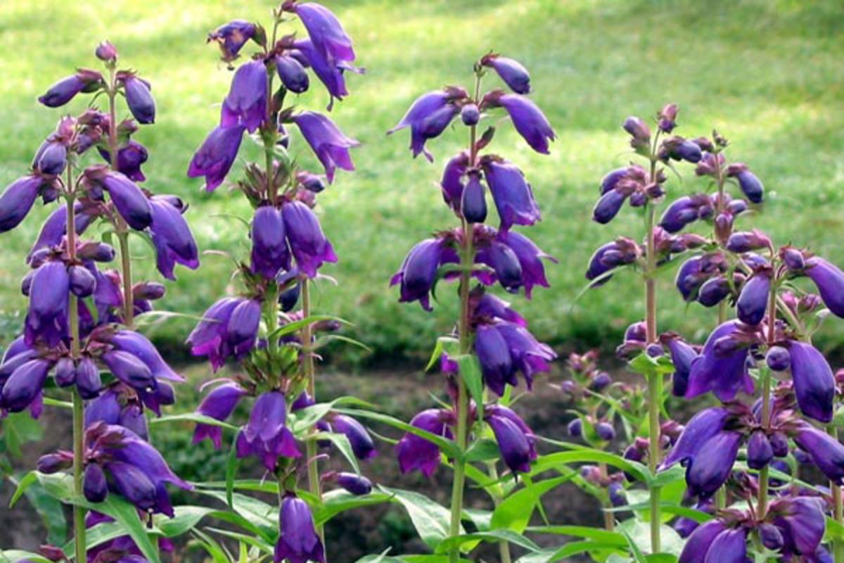 Purple passion penstemons create simple floral arrangements.