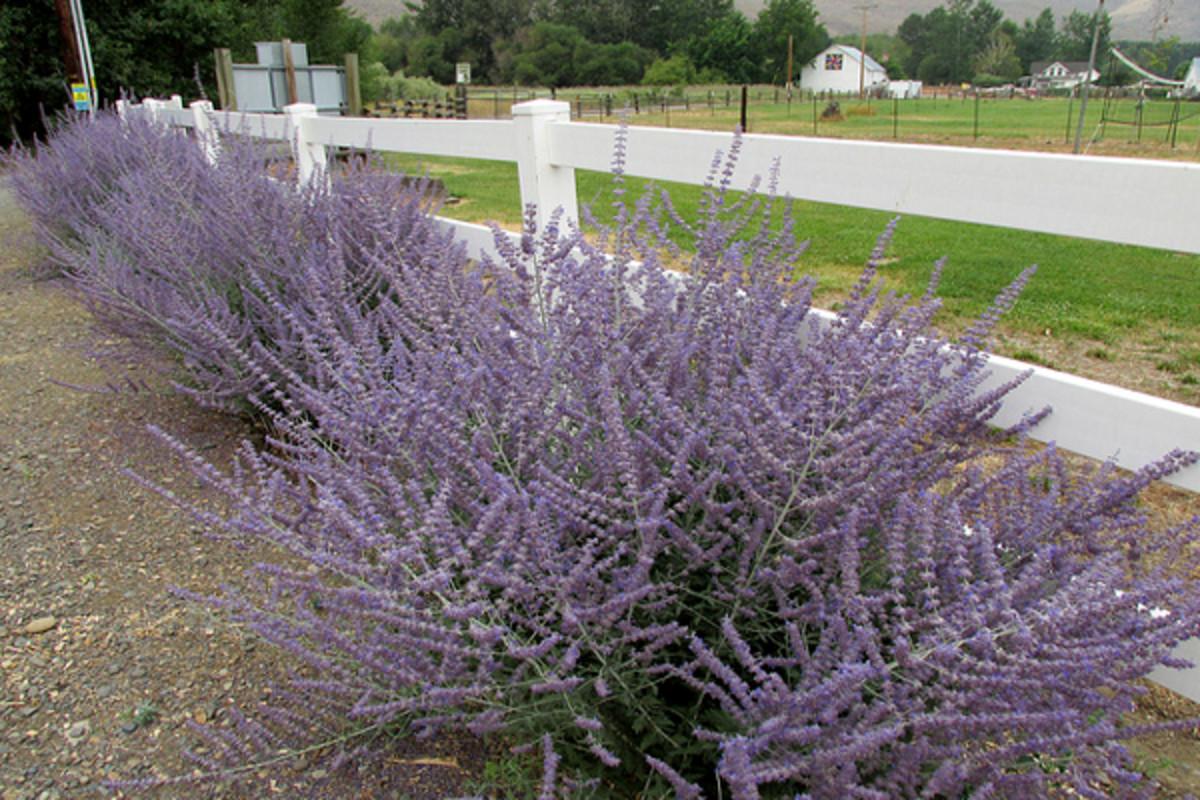 Long stalks of tiny blue blooms make for an unusual filler for an arrangement.