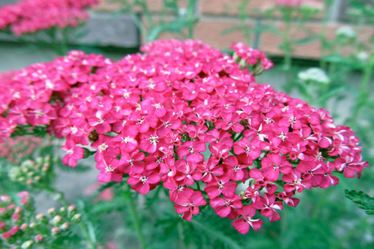 Yarrow provides a sweet fragrance that wafts throughout the room.