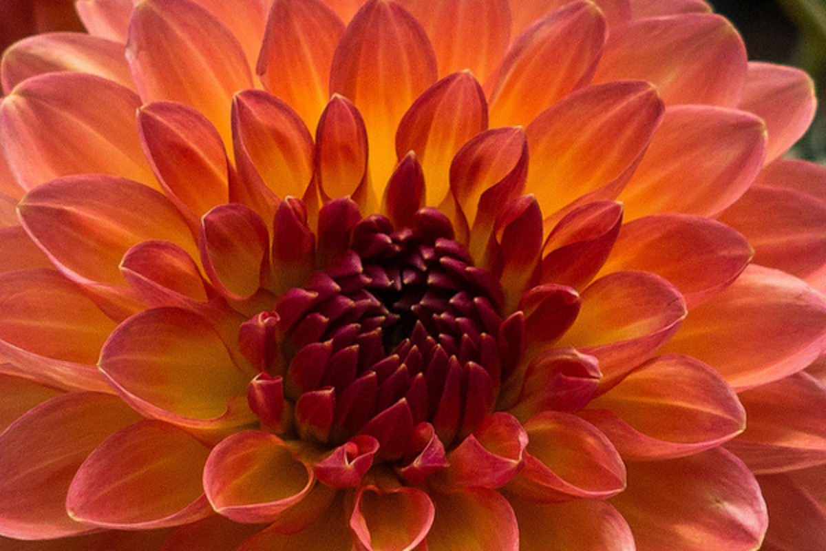 Dahlias are large flowers that can last in a vase at least a week.