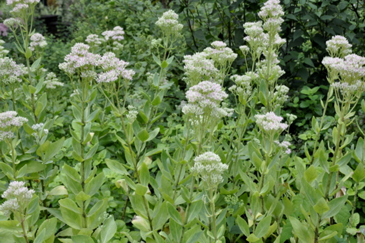 These delicate perennials are used for cuttings from early spring to fall.
