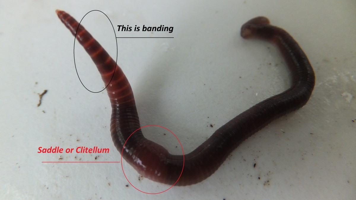 Here is a great shot of red wiggler worm that shows all the different identifying characteristics.