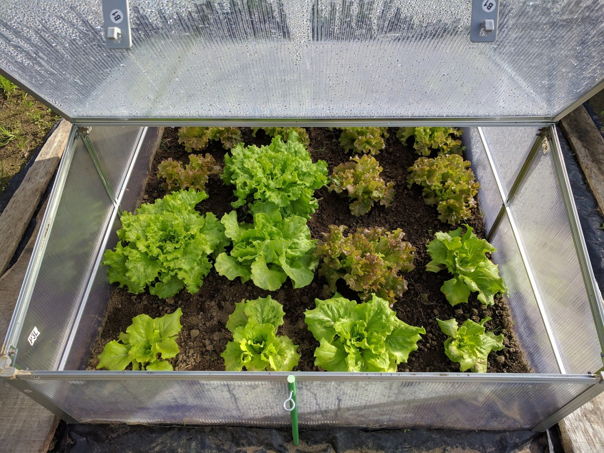 Green lettuce growing in a mini-greenhouse.