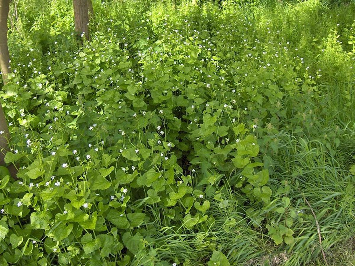 A stand of garlic mustard that has choked out other plants on the forest floor.
