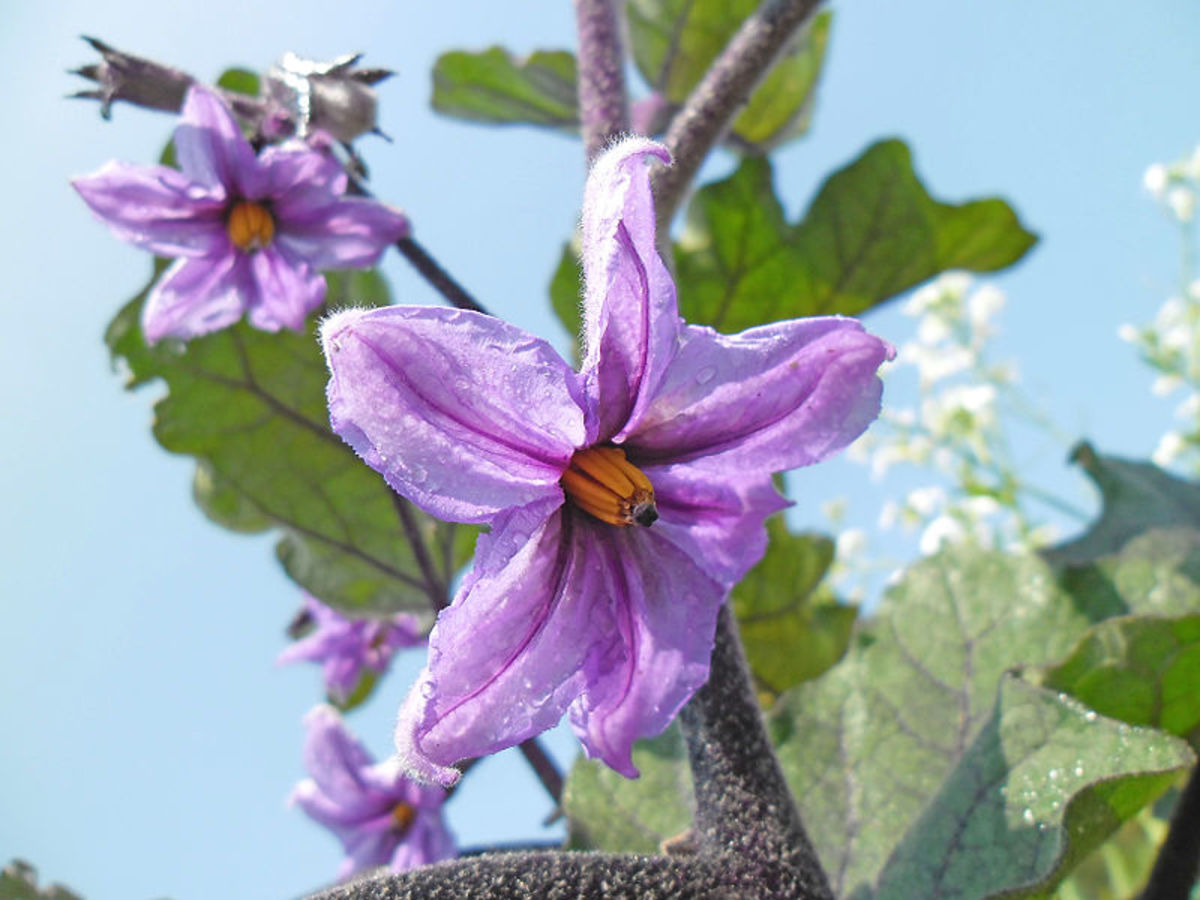 Eggplant flower.  All parts of the eggplant plant except the fruit are poisonous.