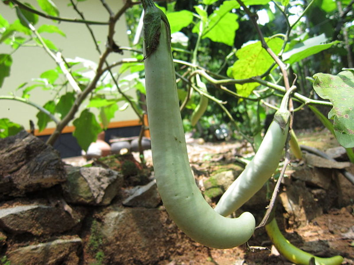 Asian eggplants can be different shapes and colors.