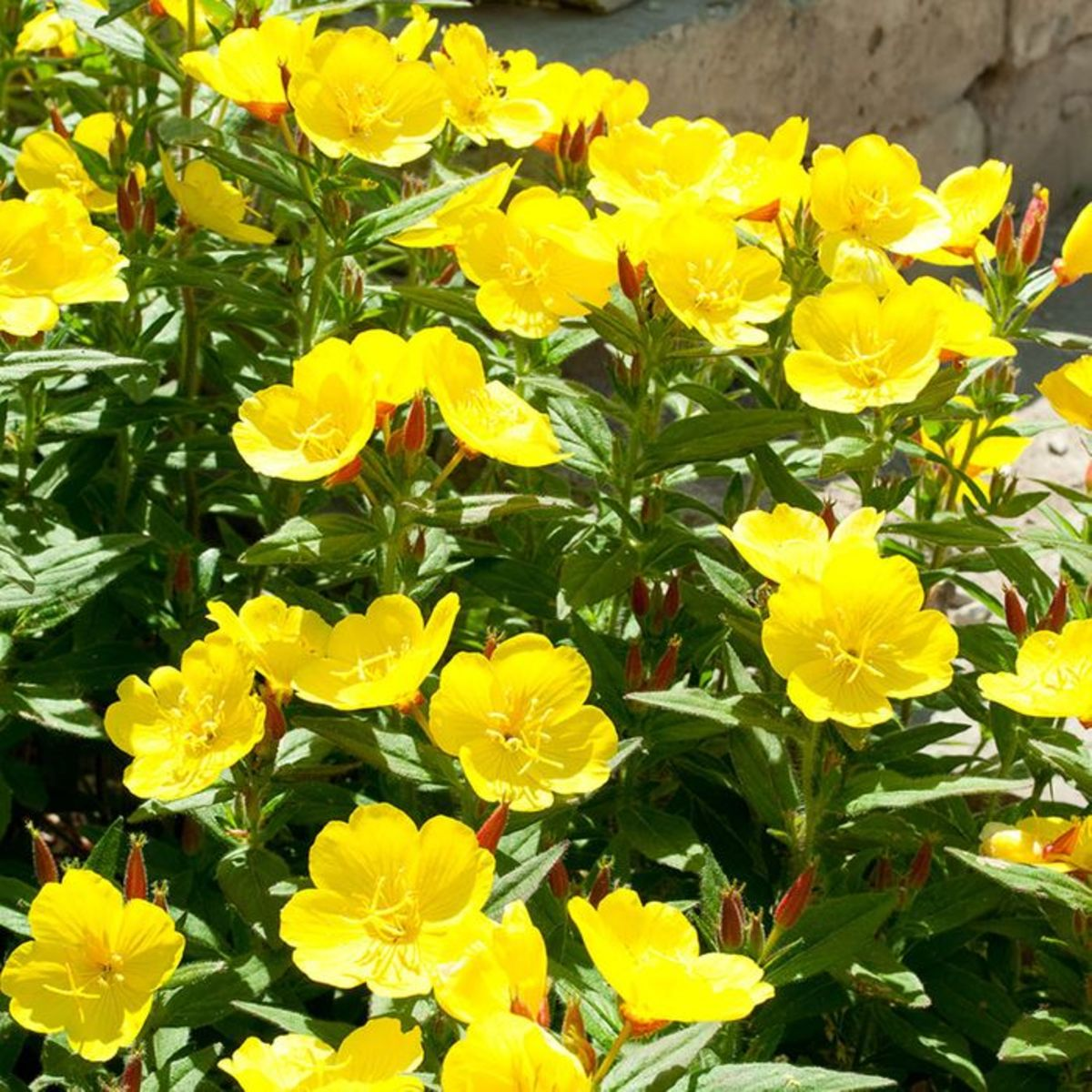 These yellow evening primrose flowers are often called sundrops.