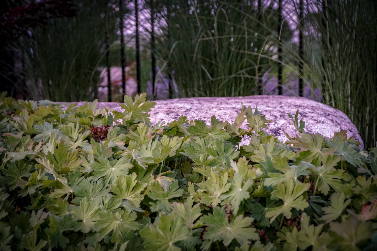 When not in flower, Geranium macrorrhizum 'Bevans' will be a workhorse in a poolside landscape by creeping along the ground and softening edges of patio and stone outcropping without pushing other plants around.