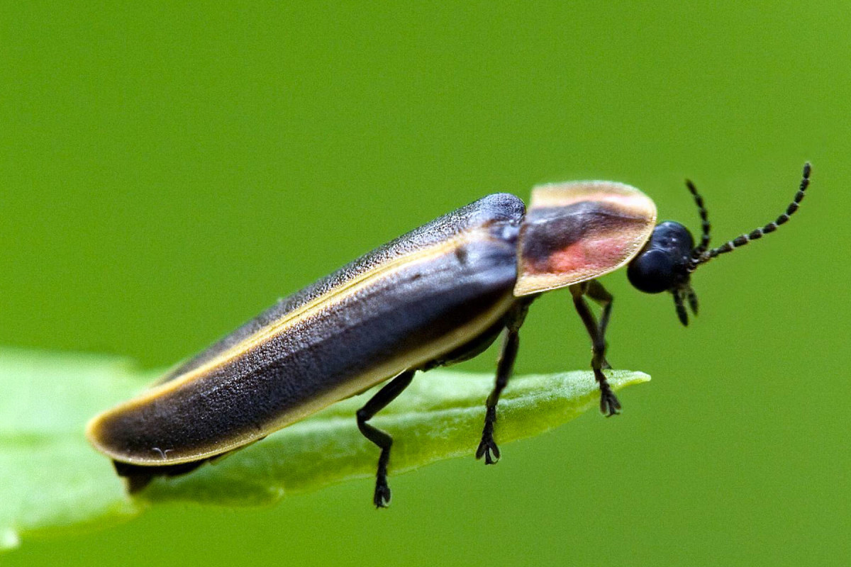 What a firefly looks like during the daytime.