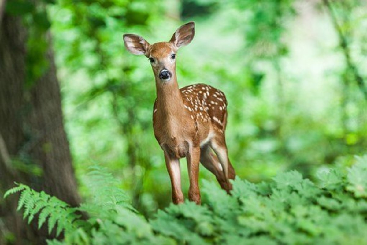 Deer and other animals can track ticks into your yard.