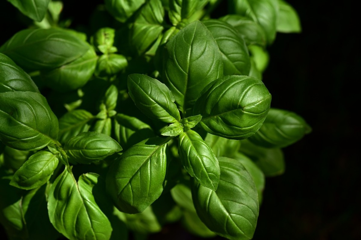 Basil, one of my favorite herbs to grow indoors.