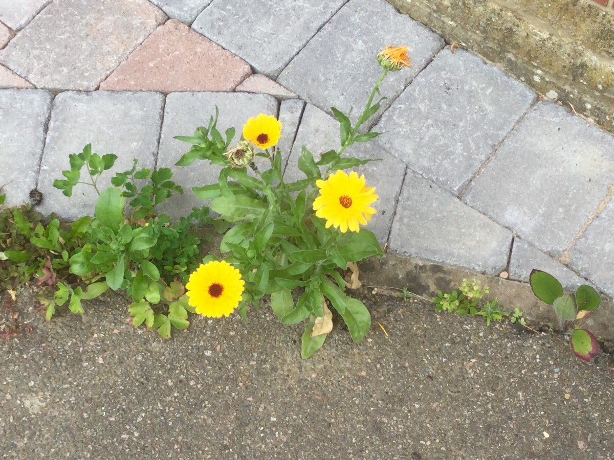Growing Calendula From a Crack in the Pavement