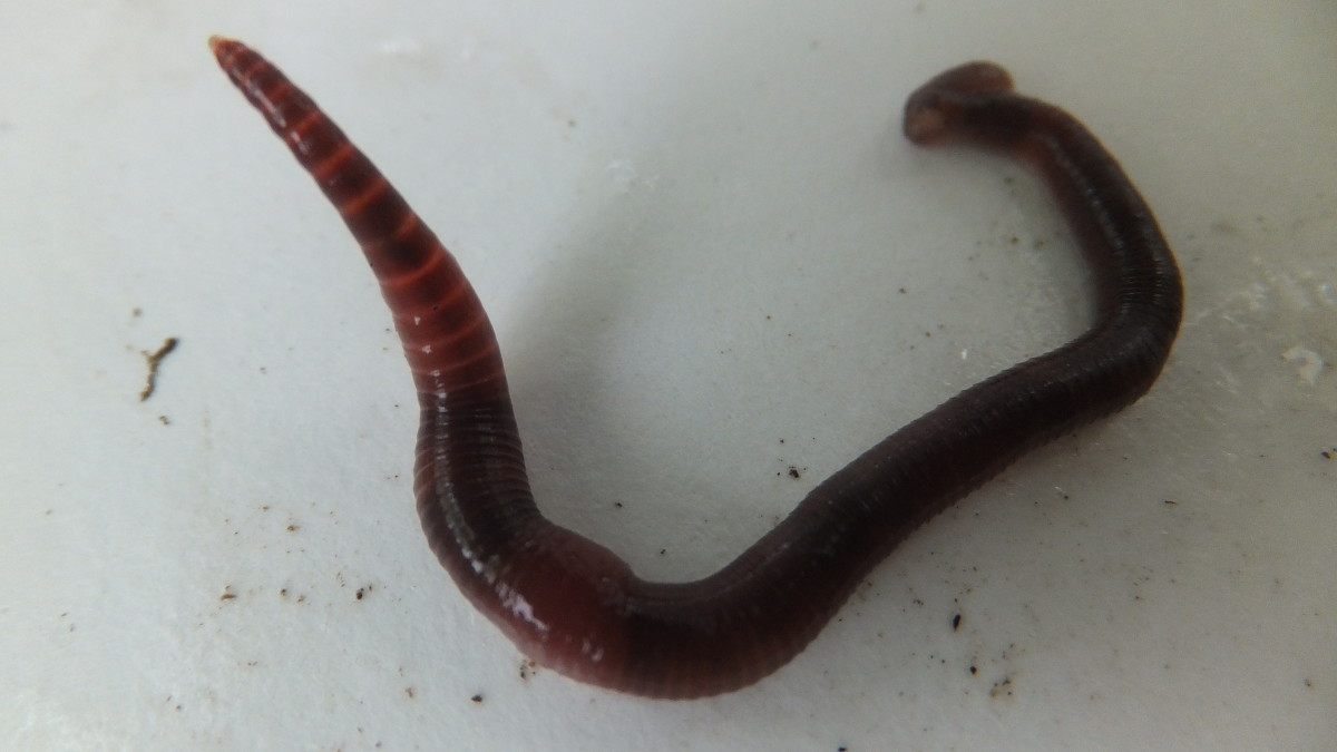 Best Vermicomposting Worms for Florida