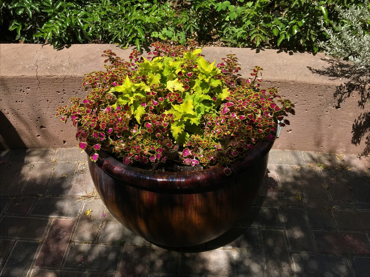Different varieties of coleus in a container.