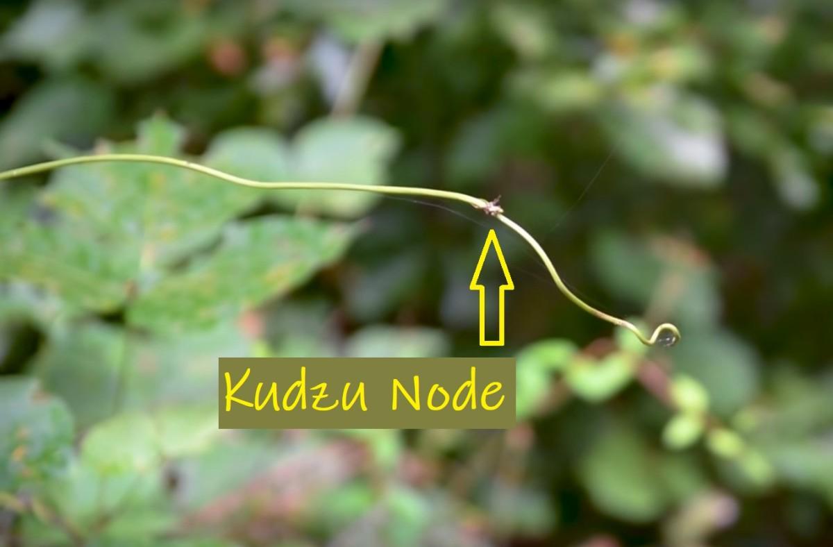 how-to-get-rid-of-kudzu