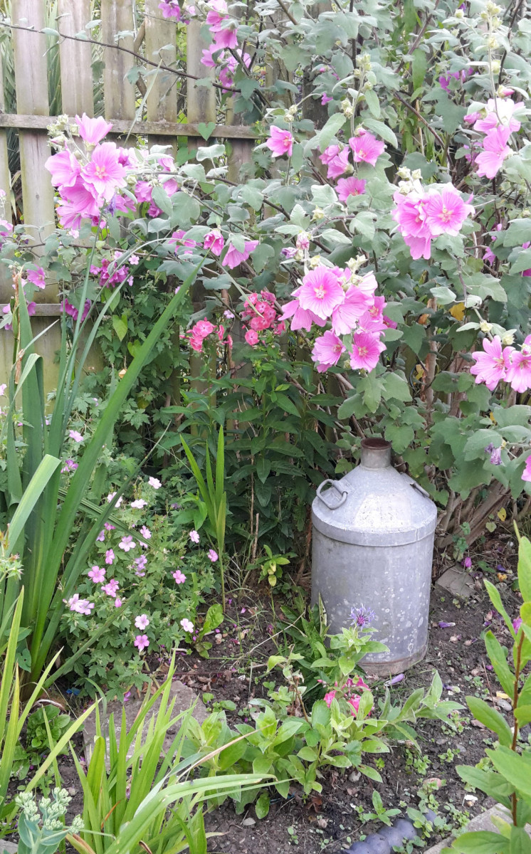 Lavatera or Rose Mallow