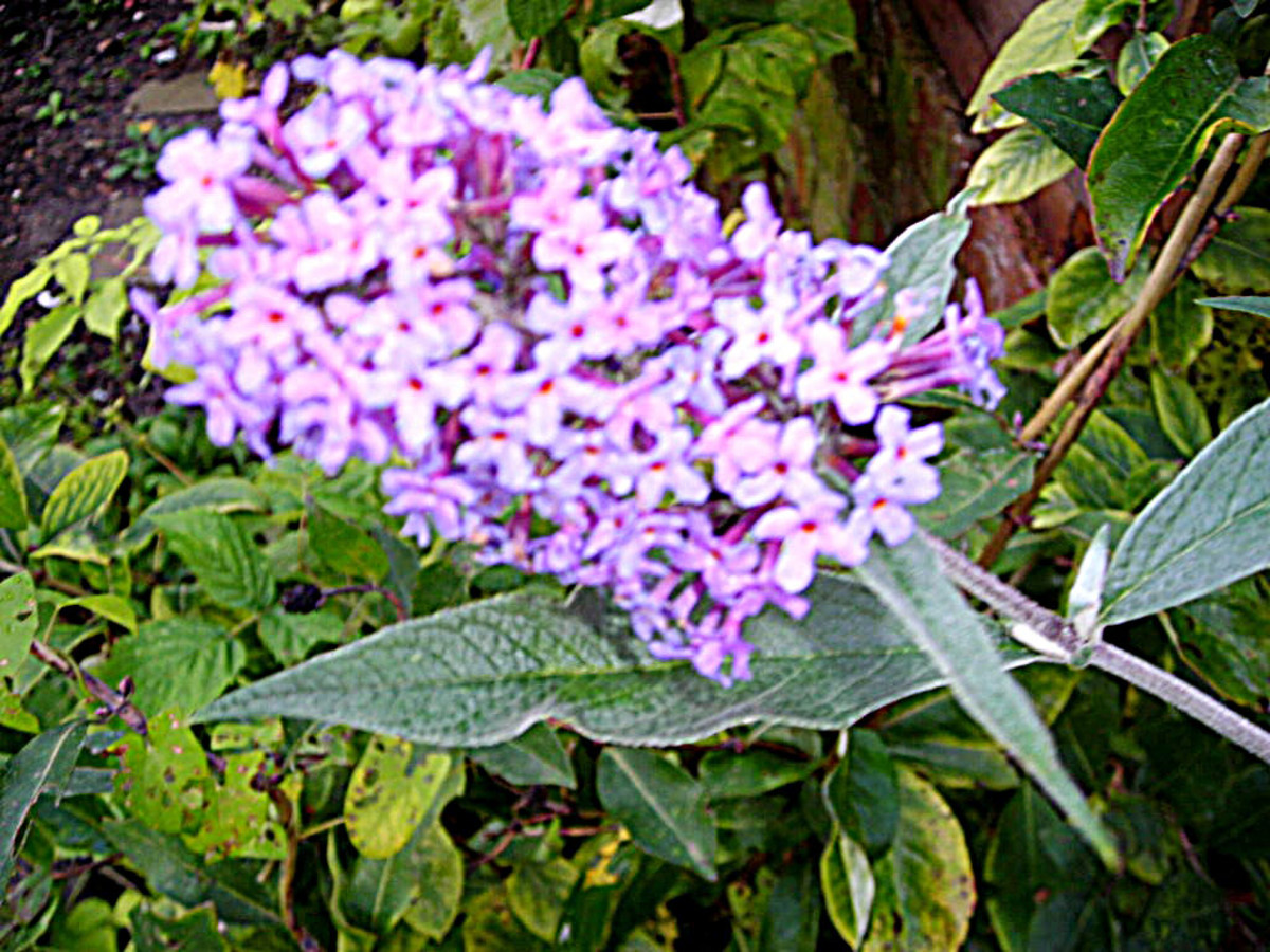 Budleia or Butterfly Bush