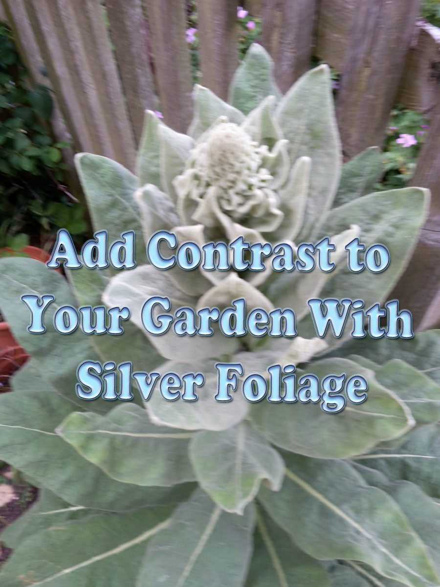 Add Contrast to Your Garden With Silver Foliage