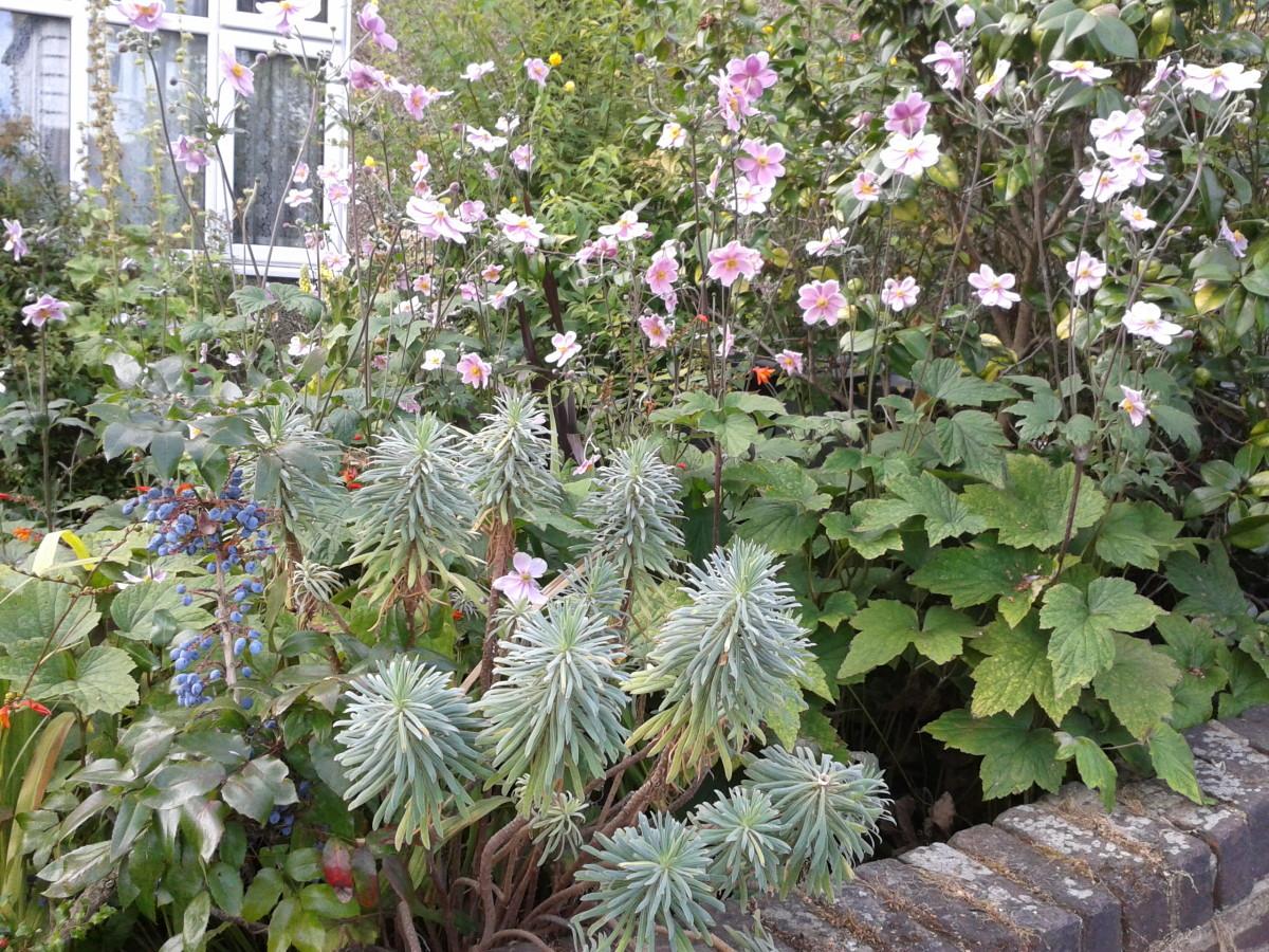 Euphorbia or Mediterranean spurge.