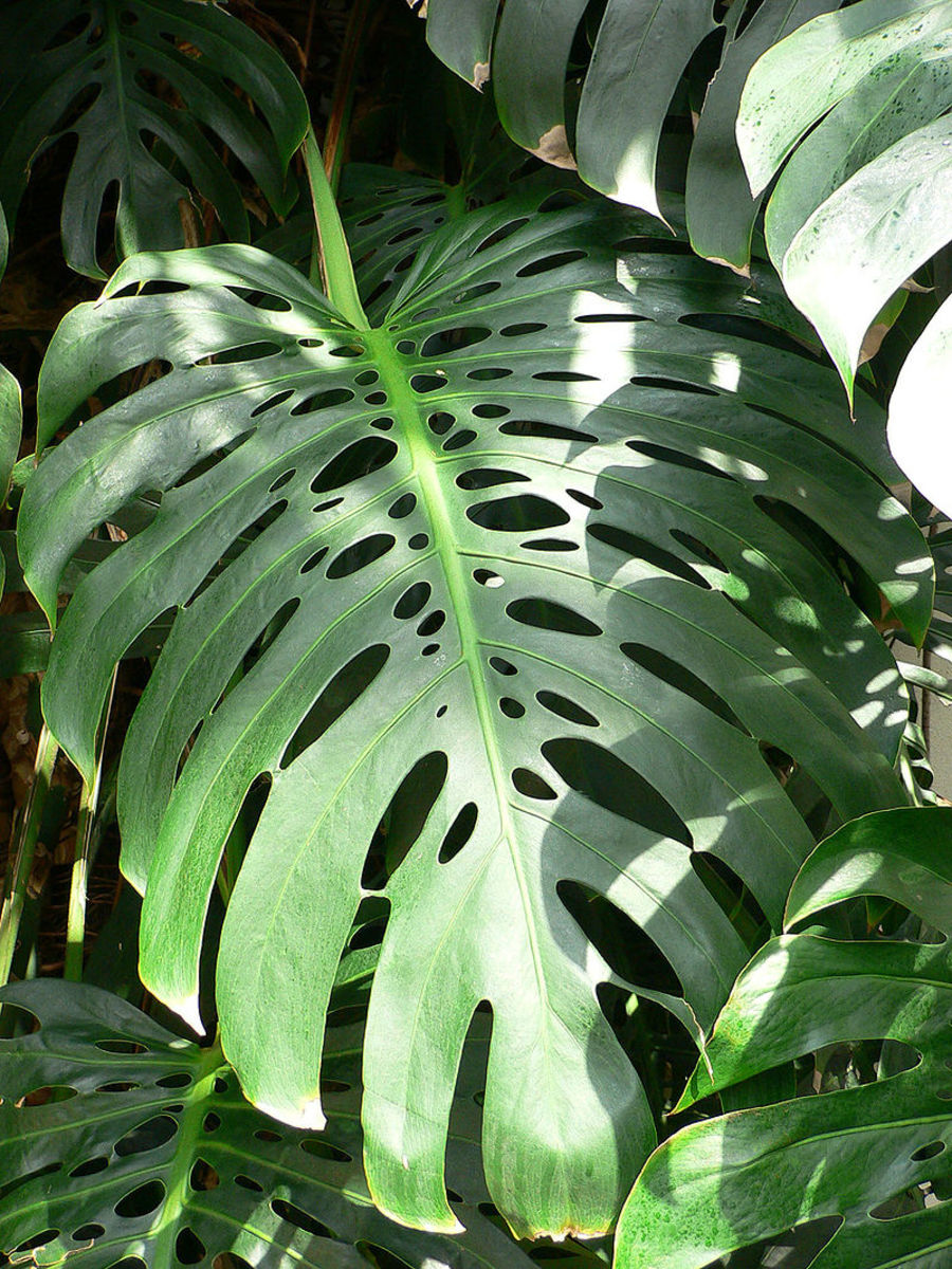 How to Grow Swiss Cheese Plants (Monstera) Indoors or Outdoors