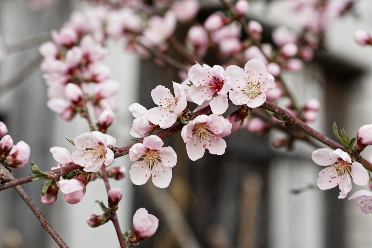 Nectarine flowers reflect the tree's Asian origins. This lovely species hails from China and is thousands of years old.