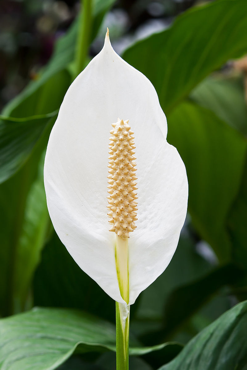 "The ""flower"" of a peace lily is a spathe.  The actual flowers are on the spadix inside."