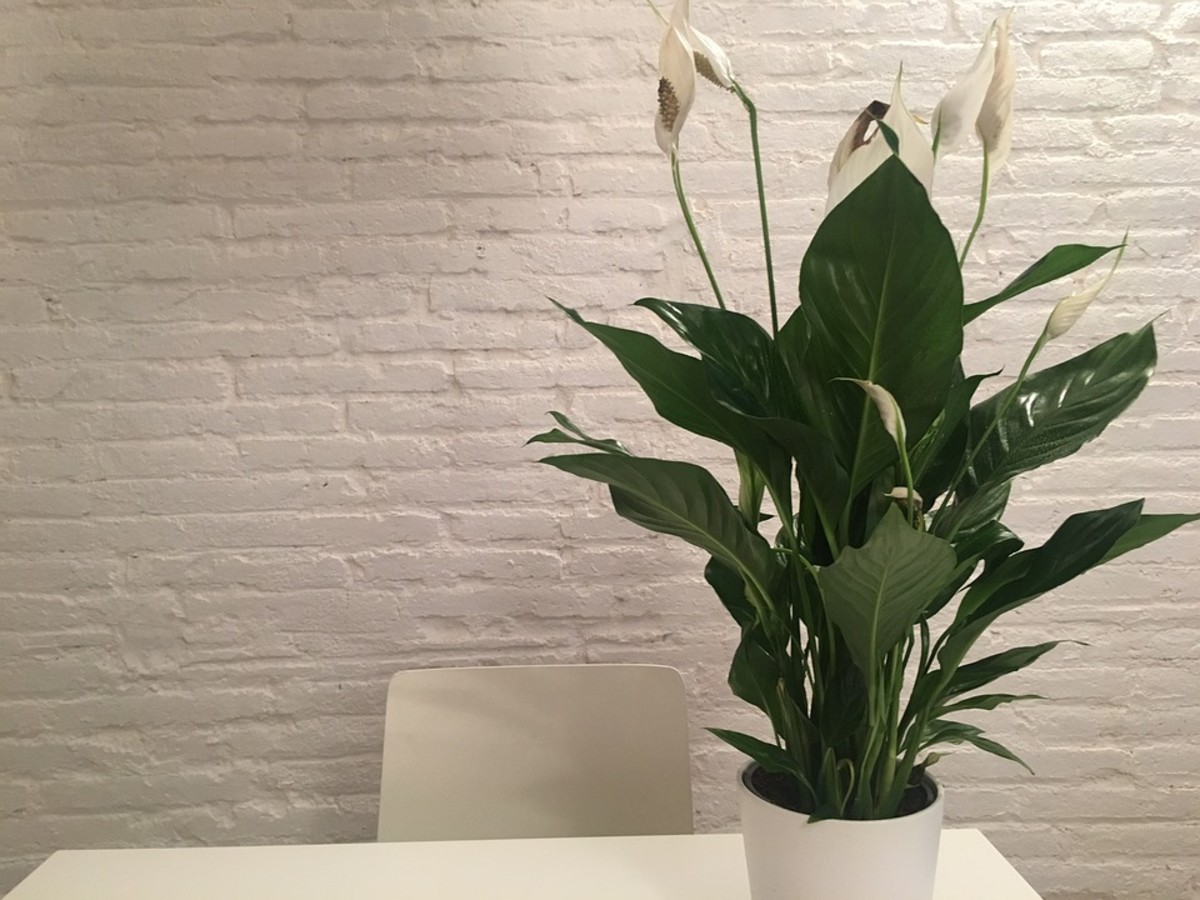 Peace lilies grow best indoors in bright indirect light.