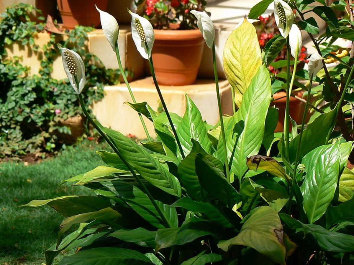 Peace lilies grow outdoors in clumps.