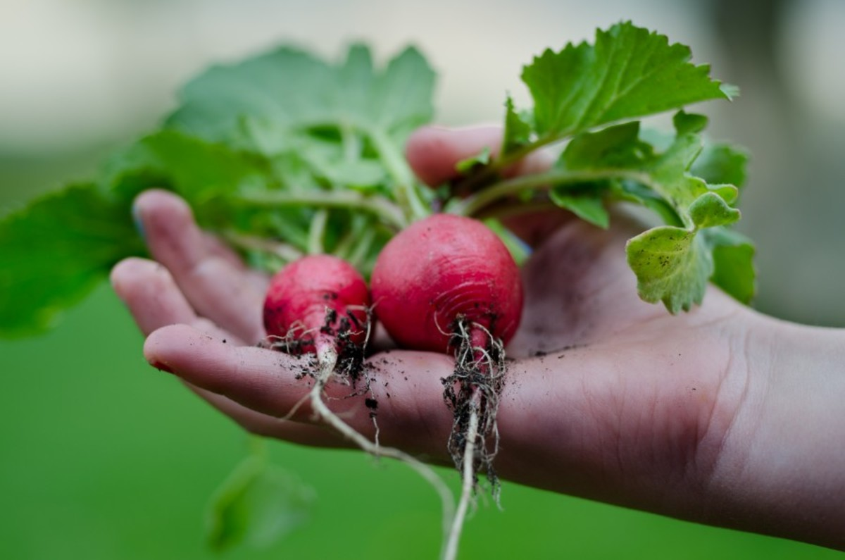 Radishes are one of the fastest growing of all vegetables and come in dozens of fantastic varieties that you can experiment with.