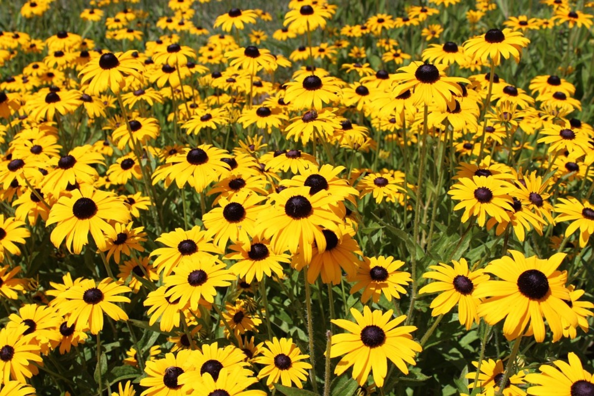 How to Grow Black Eyed Susans, a Native Plant