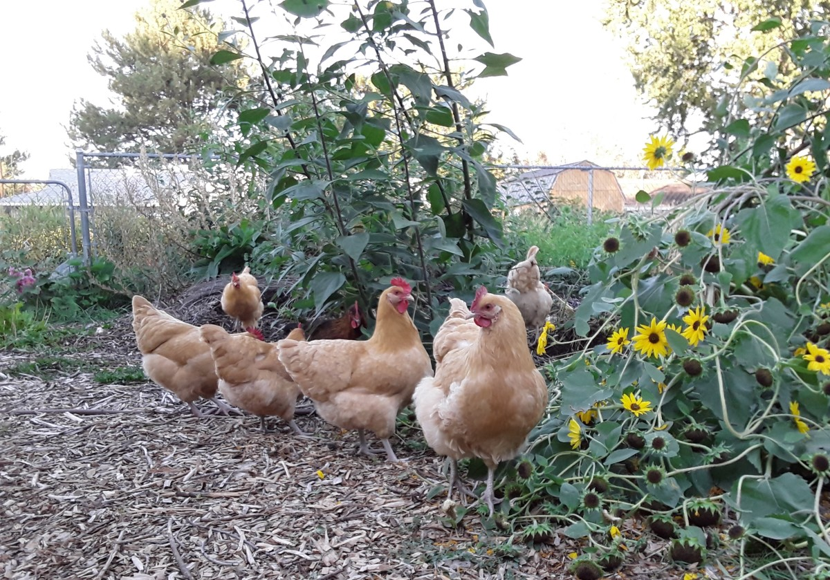 Chickens can be very destructive to a new forest garden.