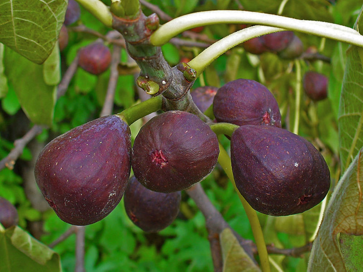 How to Grow and Harvest Figs Whether Grown in a Container or in Your Yard